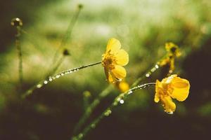 Ranunculus acris photo