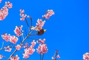 pájaro bulbul de cabeza blanca en la ramita de sakura
