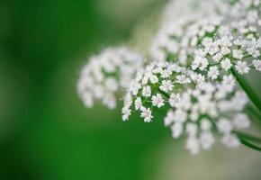 White small flowers photo