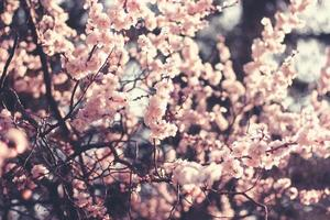 Spring Cherry blossoms, pink flowers. photo