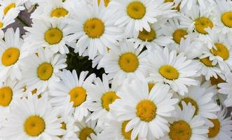 Background of white daisies. photo