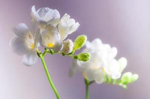 Blooming White Freesia Flowers