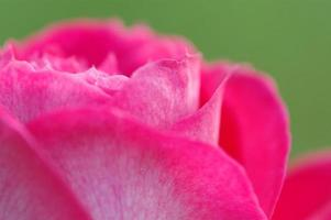 Close up and detail of pink rose flower