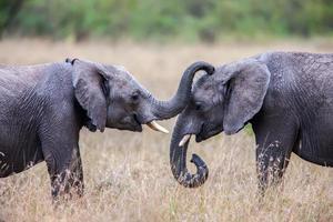 twee Afrikaanse olifanten die elkaar begroeten met slurf en monden