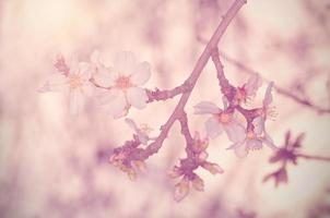 Dreamy photo of cherry flower