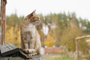 gato ruivo fofo