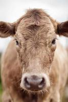 Portrait of beautiful cow bull who looks into the camera