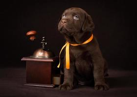 Chocolate labrador puppy sitting on brown background near wooden coffee photo
