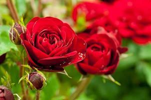 jardin de roses rouges