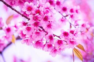 Sakura flowers blooming. Beautiful pink cherry blossom photo