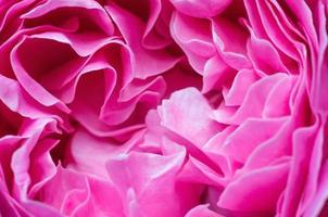 Pink rose petals background photo