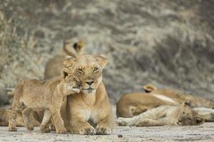 Lioness (Panthera leo) with cub