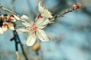 Blossoming buds
