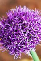Única flor de allium con cabeza violeta brillante en un jardín. foto