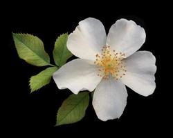 hermosas rosas inglesas sobre fondo negro foto