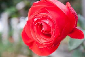 Red rose in the garden, selective focus.
