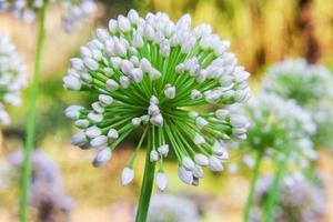 Sola flor de allium con cabeza blanca sobre un fondo de jardín foto