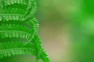 Fern leaf background