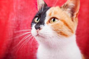 Cute Calico Cat