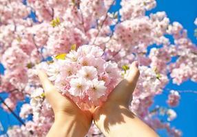 Cherry blossom, sakura flowers isolated on blue sky