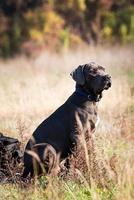 cachorro gris oscuro en el deber foto