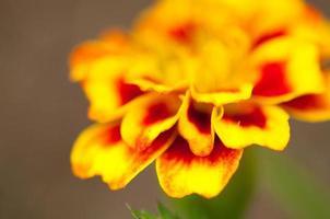 Marigold petals photo