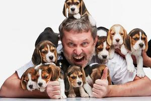 The man and big group of a beagle puppies photo
