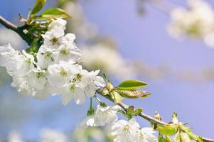 closeup spring blossoming tree photo
