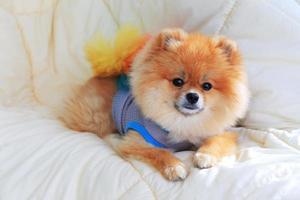 Pomeranian grooming dog use ropa en la cama foto