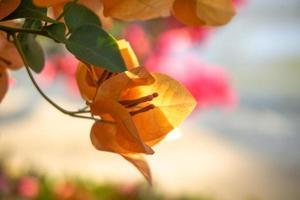 Yellow magenta bougainvillea flowers photo