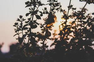 Silhouettes of plants at sunset photo