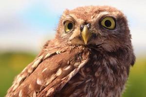 Close up of brown owl