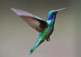 Close up of hummingbird flying