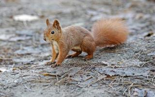 Squirrel on the ground photo