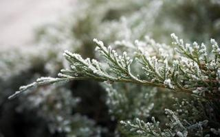 Frozen conifer branches