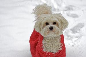 White dog in the snow photo