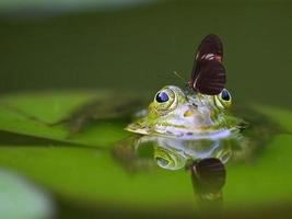 Butterfly on a frog head