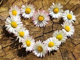 flores da margarida dispostas como um coração foto