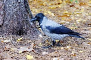cuervo en el suelo cerca del árbol