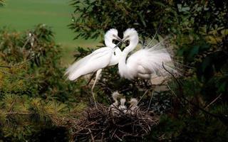 garças perto de seu ninho foto