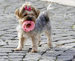 Small dog with a toy in mouth