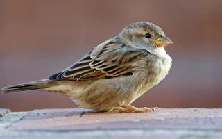 Sparrow standing on brick wall
