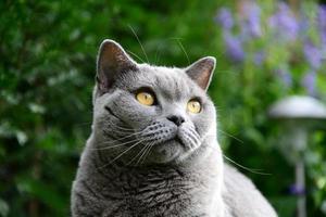 vida de gatos, azul británico foto