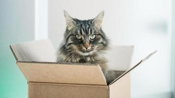 Beautiful cat in a cardboard box