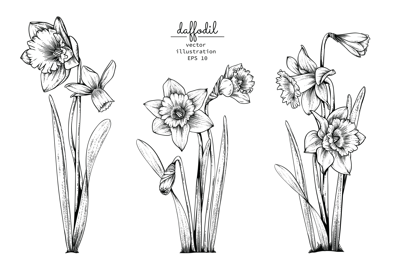 Daffodil or Narcissus flower set