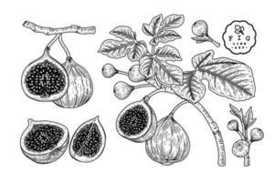 fig sketch retro set vector