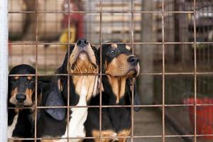 três cães latindo no portão