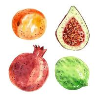 Pomegranate, figs, lime, apricot. vector