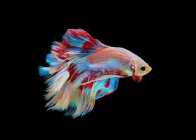 Close-up of a colorful betta fish