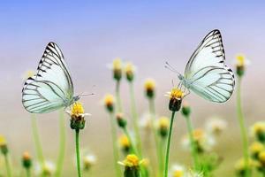 dos mariposas en pétalos de flores amarillas